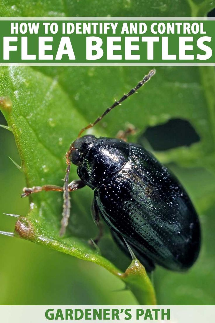 How To Control And Eradicate Flea Beetles Garden Pests
