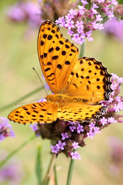 Fritillary by markroger33