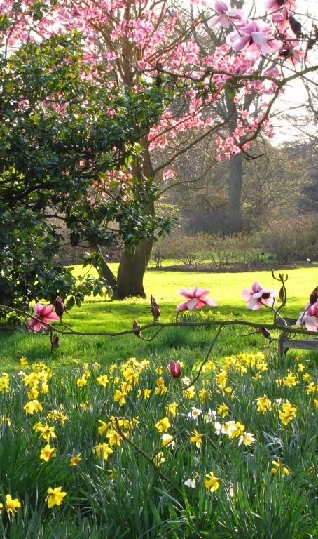 Magnolia Trees and Daffodils at Kew Gardens, London