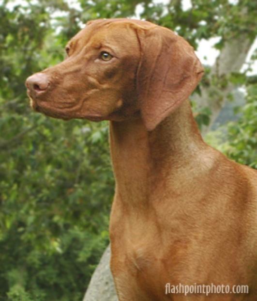Vizsla Breeder Registry @ JCW (USA State A-F): Vizsla Breeders, Vizslas, Vizsla Puppies! Listed by State, then Kennel Name.