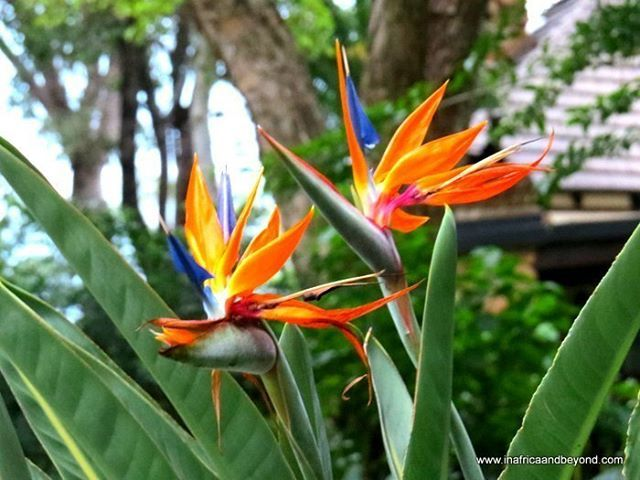 Strelitzia Reginae Aka Bird Of Paradise Flower A Flowering Plant Indigenous To South Africa I Too Birds Of Paradise Flower South Africa Ideas Planting Flowers