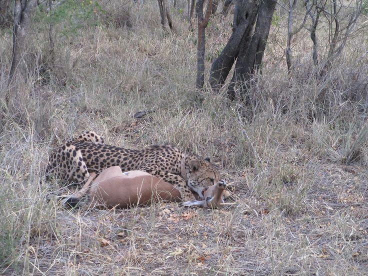 Experienced a Cheetah catching Impala.