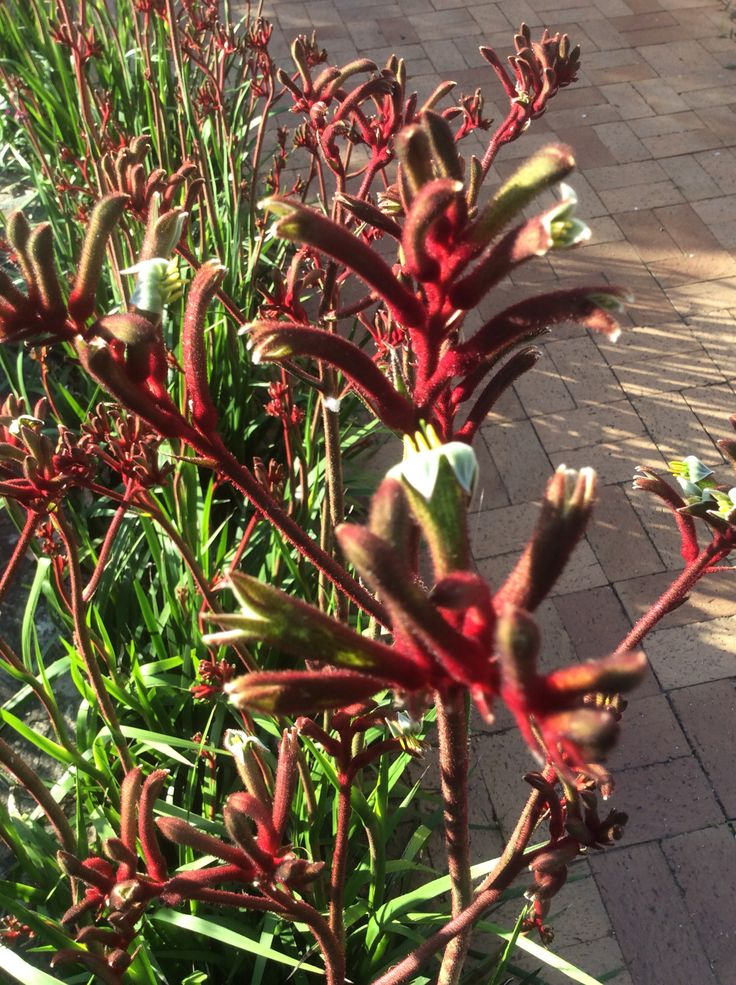 Ruby Velvet Kangaroo paws. Great 1.2 m burst of spring colour in my garden