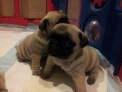 Adorable Pure Bred Pug Puppies   puppies for sale Currimundi Queensland   Pug dogs for sale in Australia -http://www.pups4sale.com.au/dog-breed/475/Pug.html