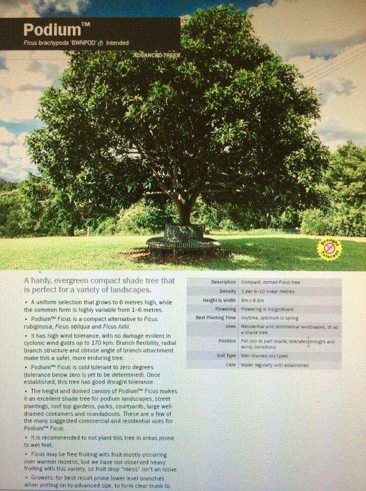 Ficus Brachypoda PODIUM (Pbr Intended) #PodiumTrees #PodiumLandscapes  #EvergreenTrees