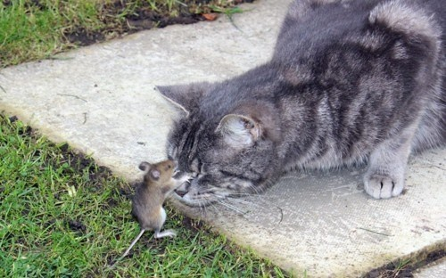An actual game of cat and mouse unfolded in a garden in Reigate, Surrey, when an audacious rodent took on his kitty captor for a full ten minutes before managing to escape.    According to witnesses, the wood mouse was brought into the garden by the cat, who had most likely expected an easy meal. But the critter soon went all Mighty Mouse, pummelling the cat with a succession of effective blows before escaping.Mice, Cat, Friends, Real Life, The Real, Funny, Into The Wood, Animal, Running Away
