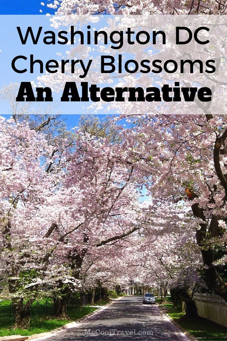 A wonderful alternative to visiting the cherry blossoms in Washington, DC.