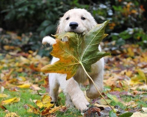 Golden Retriever with a maple leaf.