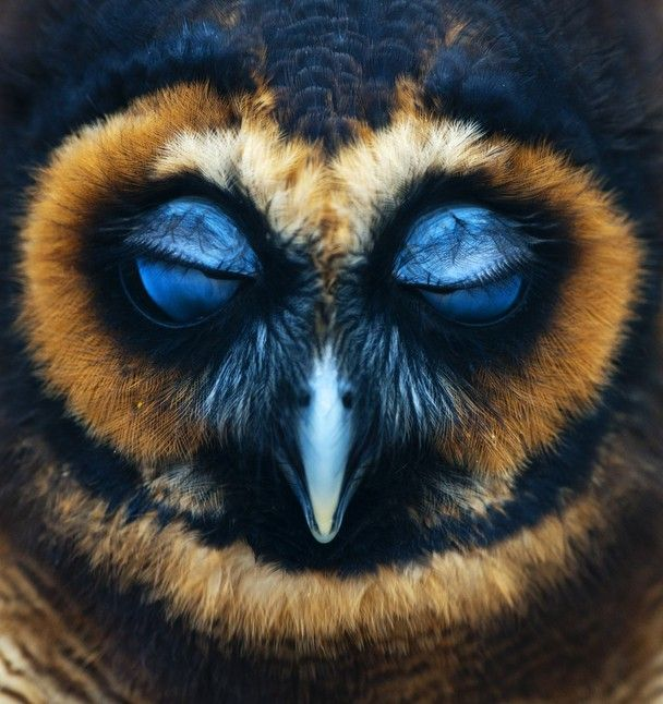 amazing. Photo and caption by robin utrecht an portrait off an owl who closes his eyes