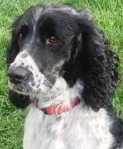 THIS IS BOO! WE ADOPTED HER IN MAY! Just in time for Mother's Day. English Springer Spaniel Rescue Assoc. Our second adoption from them. Boo is 18 mo. and a small little girl. 29 lbs. WE SO LOVE HER...  XOXOXOXJANIEK