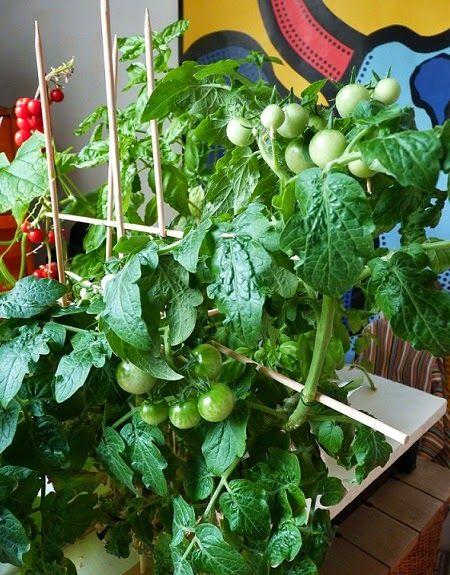 1000 id es sur le th me hydroponie sur pinterest - Quand planter les tomates cerises ...