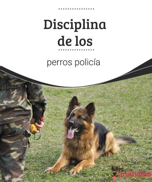 Disciplina de los perros policía  ¿Que cómo entrenan a los perros policía? En mis animales te lo contamos. Sigue leyendo este artículo para saber más sobre estos increíbles perros. #disciplina #policía #adiestramiento #entrenamiento
