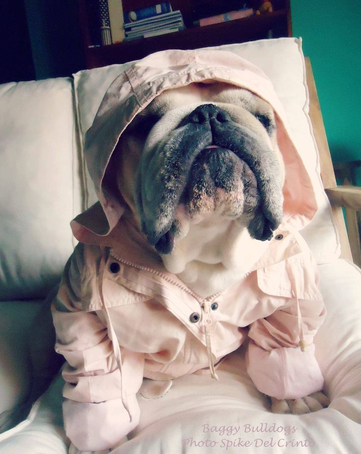 Bulldog ready for wet weather