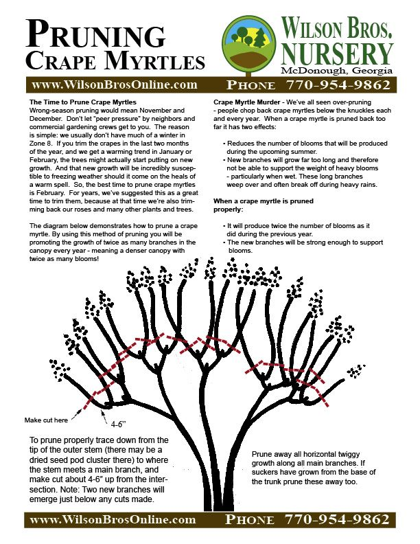 How to prune Crepe Myrtels. Don't murder your Crepe by over-pruning!