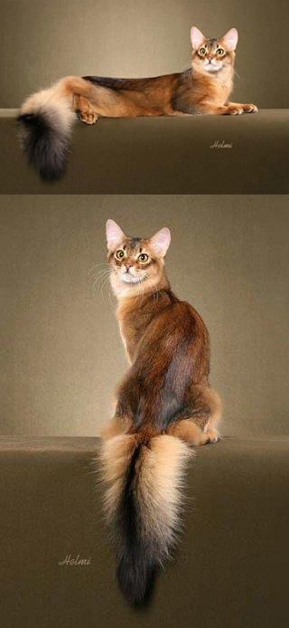 Somali cat, aka the long-haired Abysinnian. Don't let it outside, it may be mistaken for a fox!