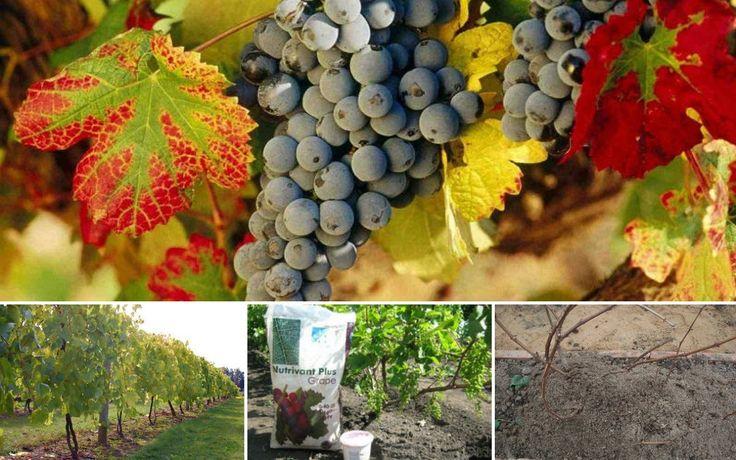 : Подкормка винограда осенью