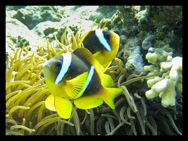 Red Sea anemonefish by pudekamp, via Flickr: Ocean, Photo