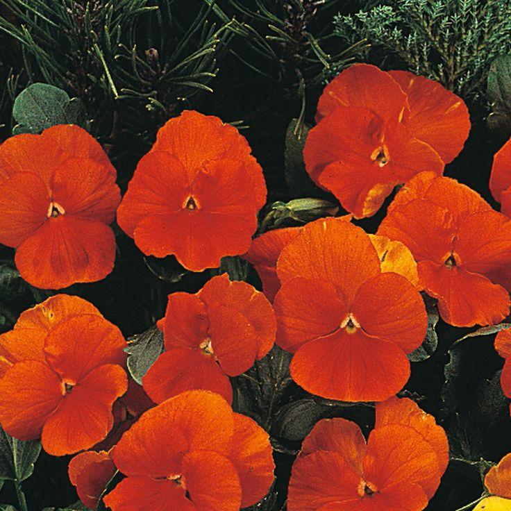 Pansy 'Padparadja' F2 Hybrid - Perennial & Biennial Seeds - Thompson & Morgan Worldwide