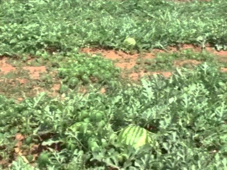 ....  http://w500.blogspot.com.br/      Saiba como é o cultivo de melancias