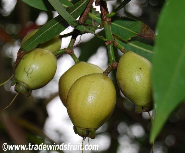"Rose Apple - Syzygium jambos - A crisp, yellow, 1-2"" long fruit with the smell and taste of rose water. The rose apple is occasionally cultivated in the tropics but is rarely available in markets."