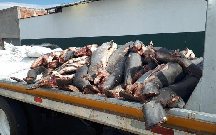 Hallan 300 tiburones congelados tirados en carretera de Michoacán