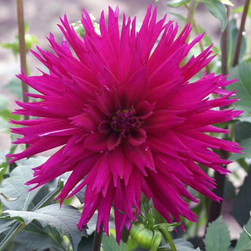 1017 best dahlias images on pinterest | dahlia flowers, fonts and