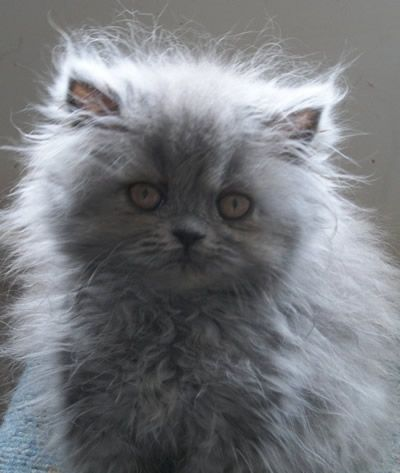 Kittens Available Through the Blue Persian Cat Society Website