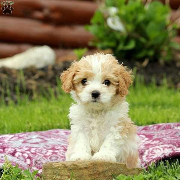 Rollo Cavachon Puppy For Sale In Pennsylvania Cavachons I M Getting One Cavachon Cavachons Pennsylvania Pu Cavachon Puppies Cavachon Dog Cavachon