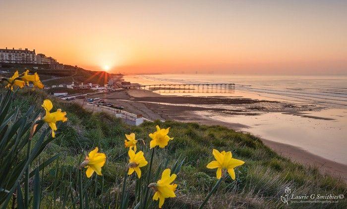 Saltburn Daffodils