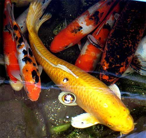 Koi fish beautiful pond zen fish beautiful koi and ponds for Beautiful koi fish