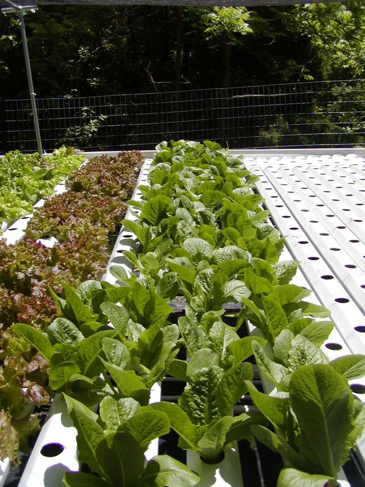Backyard Hydroponic Romaine And Red Leaf Lettuces Growing