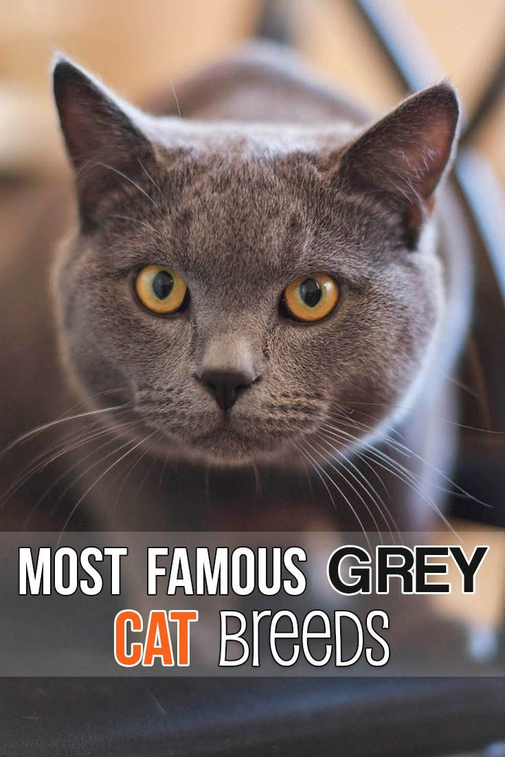 These are the most famous grey cat breeds
