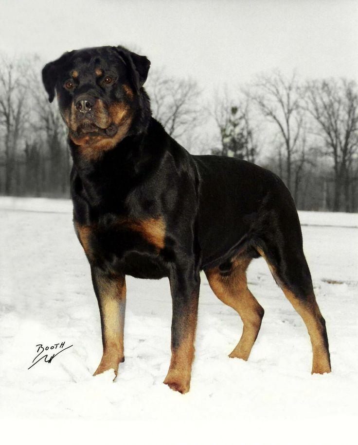 Rottweiler Wallpaper: Best 1309 Animals Images On Pinterest
