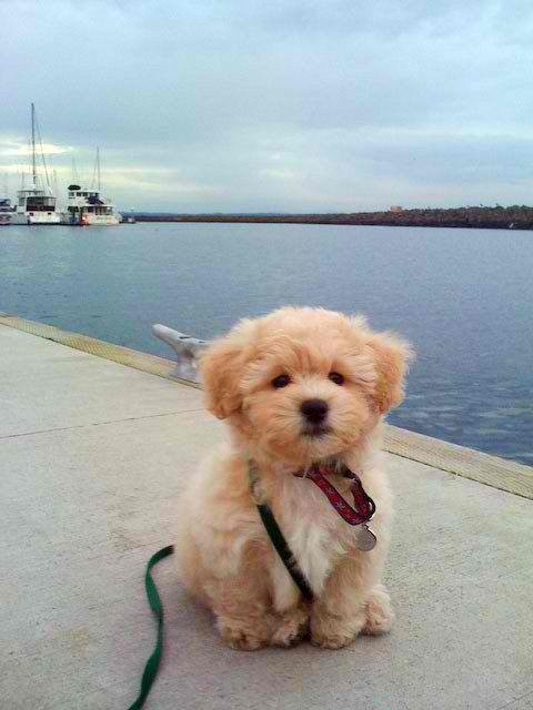 You'll be mine one day you golden doodle!