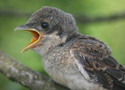 Uitgevlogen jong, luidruchtig bedelend om voer. Bargerveen, 20 juli 2007. Harvey van Diek
