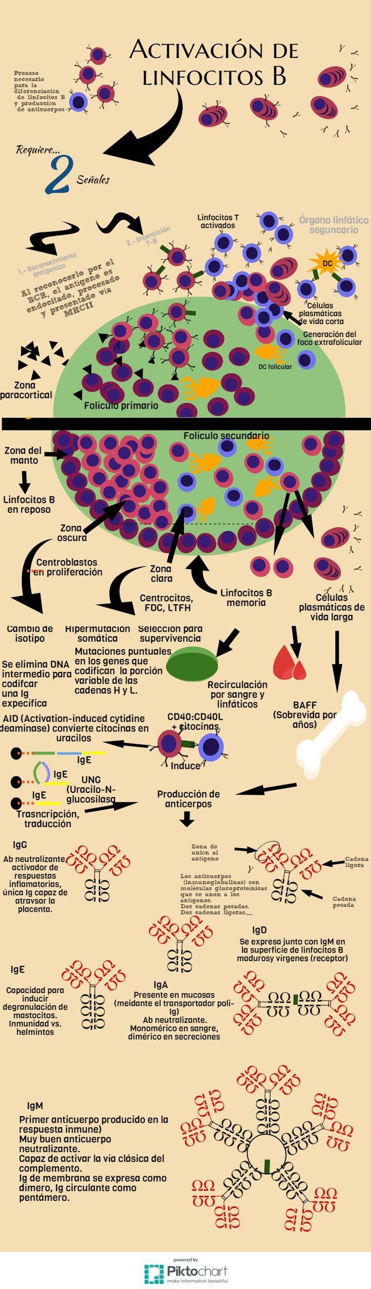 Activacion de linfocitos B