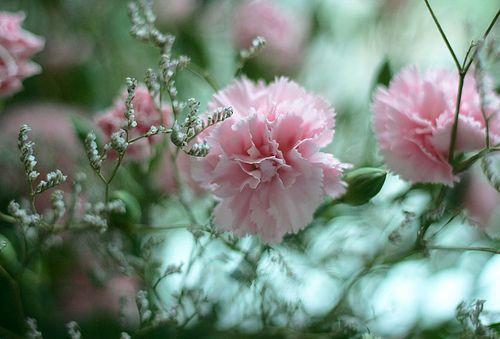 Roze Anjers