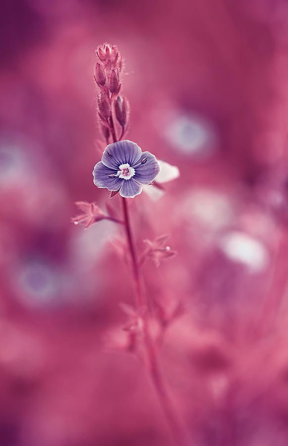 Small Romantic Violet Flower Photograph by Oksana Ariskina. Small blue wildflower forget-me-not, closeup view on violet pink toned background. Available as mugs, posters, greeting cards, phone cases, throw pillows, framed fine art prints, metal, acrylic or canvas prints, shower curtains, duvet covers with my fine art photography online: www.oksana-ariskina.pixels.com #OksanaAriskina