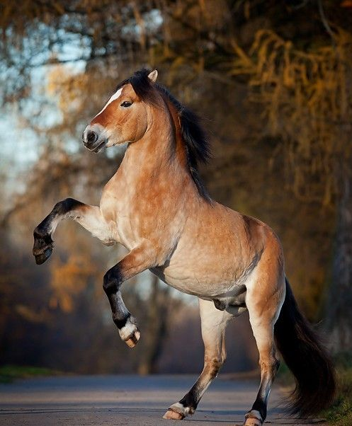 11 best Horses Pangare images on Pinterest | Beautiful ...