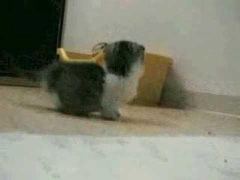Munchkin-Katze mit den kürzesten Beinen aller Zeiten – Aminals! ♥ – #aller # …   – Adorable Kittens