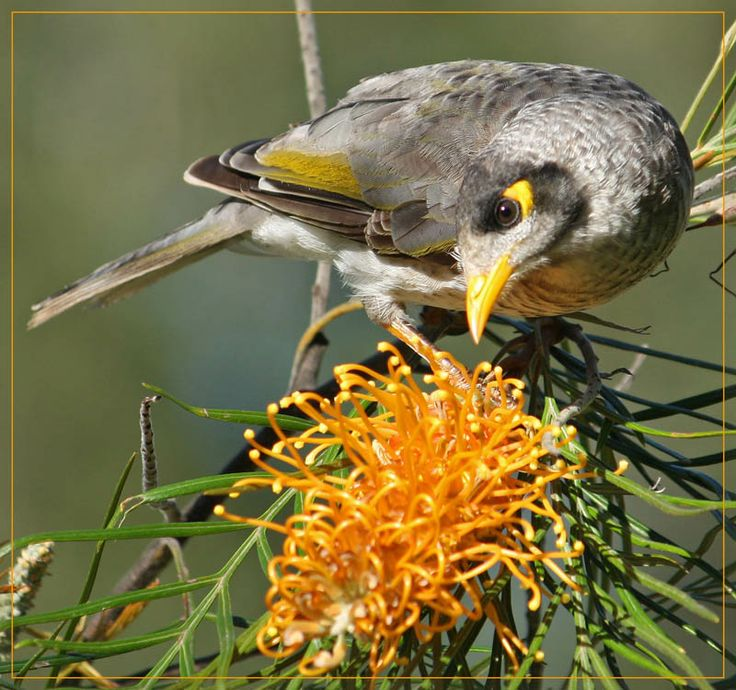 The Noisy Miner. What they lack in the looks department, compared to our beautiful parrots, they more than make up for in attitude and bravery.These birds have such an attitude and they are incredibly territorial. They love Grevilleas, Banksia, and any other plants that are rich in nectar. They also like a juicy spider added to their diet. And they aren't called noisy for nothing - if there is a potential danger they let the world know...as a group.
