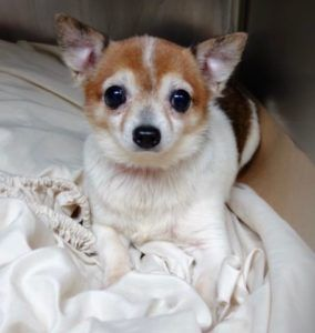 FOX IS SAFE, 10/02/16 - SUPER URGENT Manhattan - FOX - #A1091217 - MALE WHITE BROWN CHIHUAHUA SH MIX, 8 Yrs - STRAY - NO HOLD Reason STRAY - Intake 09/25/16 Due Out 09/28/16