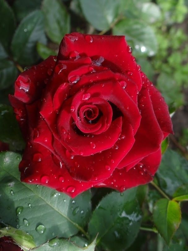 Pin By Bogumila Lukasiewicz On Beautiful Flowers And Roses Red Roses Flowers Photography Flowers