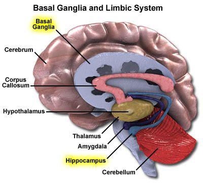 basal+ganglia | Basal ganglia | ToTo NeuroImmunologisk Kurativ Behandling