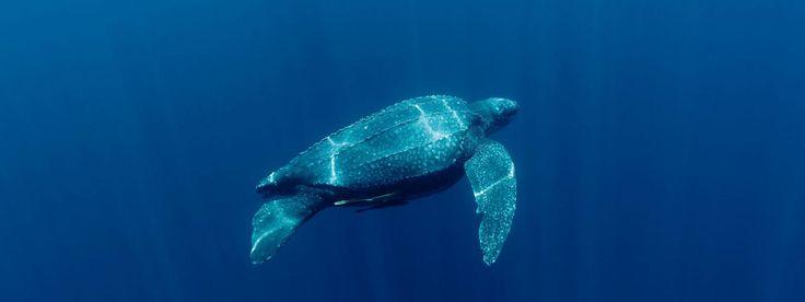 Leatherback turtle (Dermochelys coriacea) underwater. Kei Islands, Moluccas, Indonesia. 21 November 2009