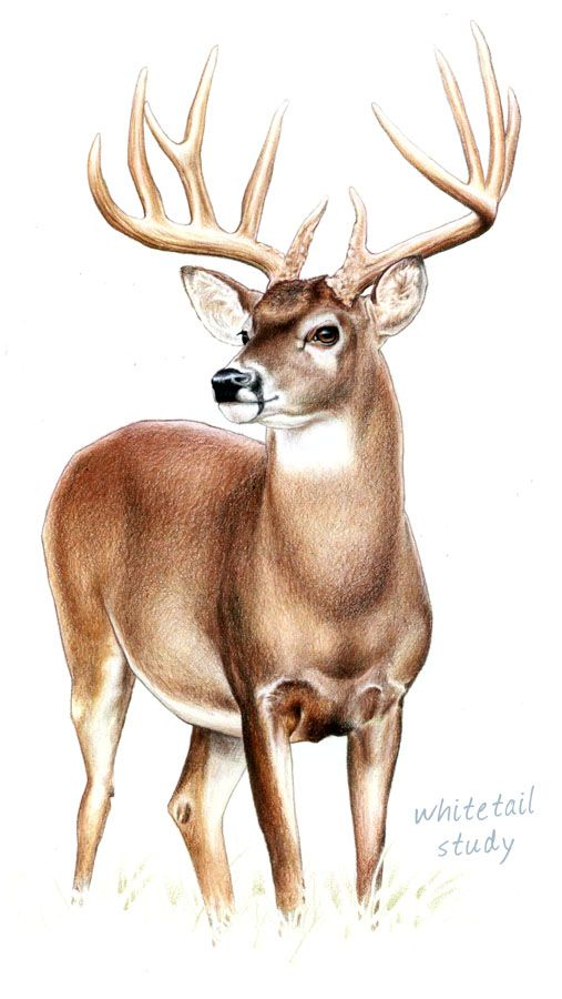 Wildlife Art by Kenny Oliver at Coroflot.com