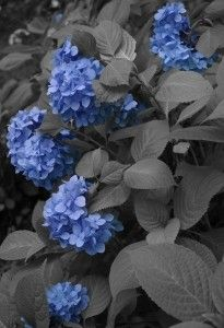 Gambar Bunga Hortensia Biru Cantik