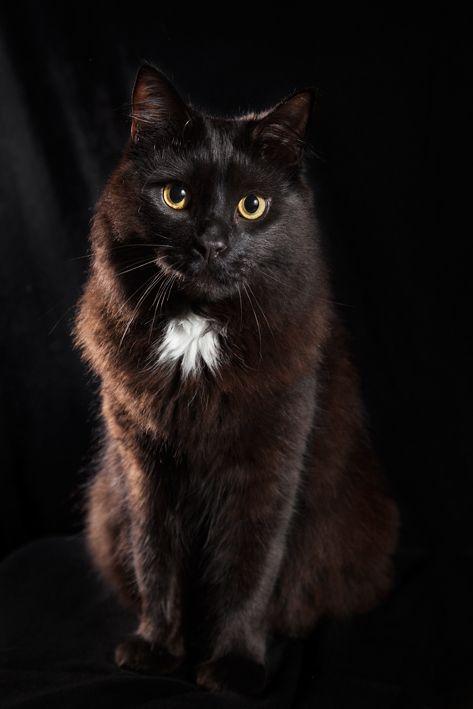 Cat. Portrait. Atticus. Black on Black.