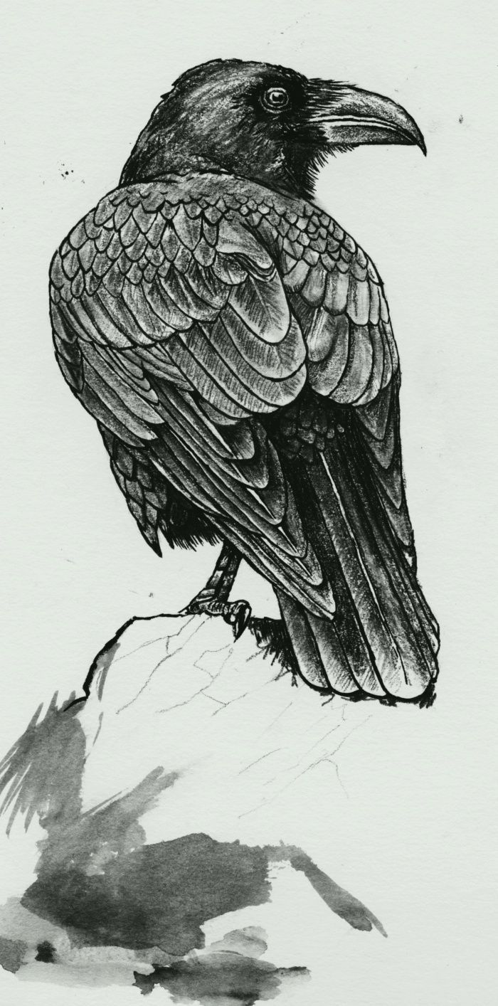 crow illustration with the detail of the feathers for black on black series