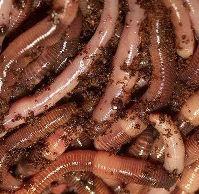 Tidak dimakan mentah-mentah, cacing tanah dioleh dengan dikeringkan kemudian dijadikan serbuk sehingga nantinya bisa dijadikan juice. Merupakan resep turun temurun untuk obat dan anak yang sulit makan. Protein dalam daging cacing sangat tinggi manfaatnya.